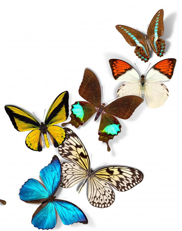 Butterflies in their larval state are caterpillars.