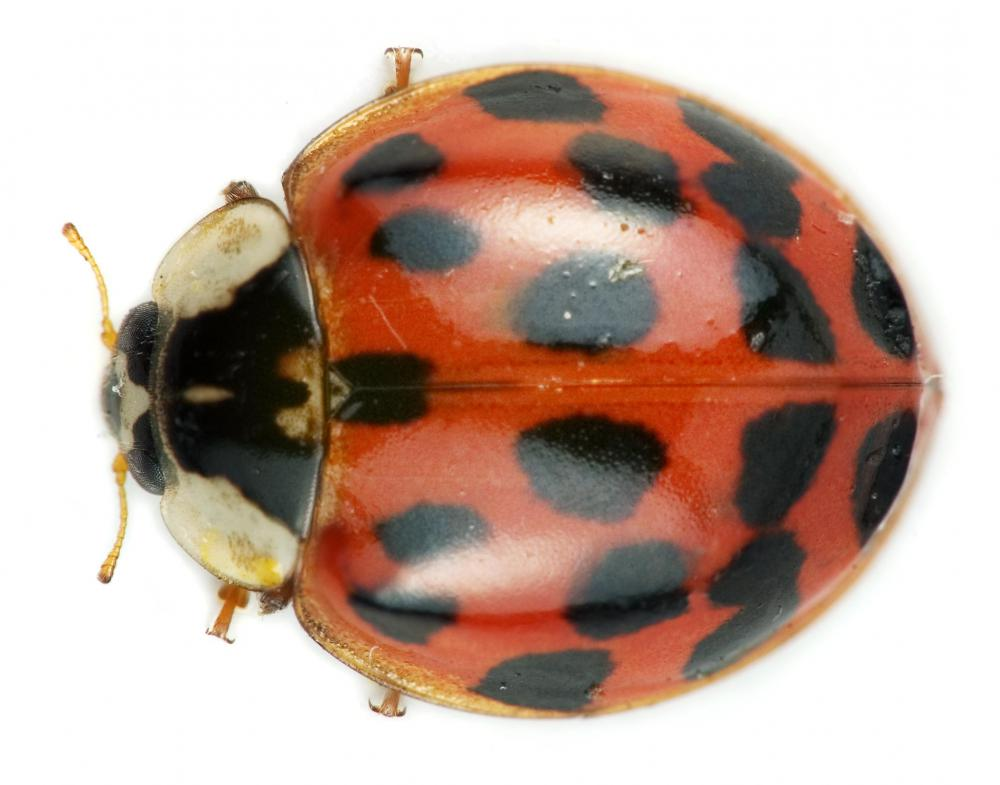 Harmonia axyridis beetles, commonly known as lady bugs, can be infested with the parasitic fungi, Laboulbeniales.