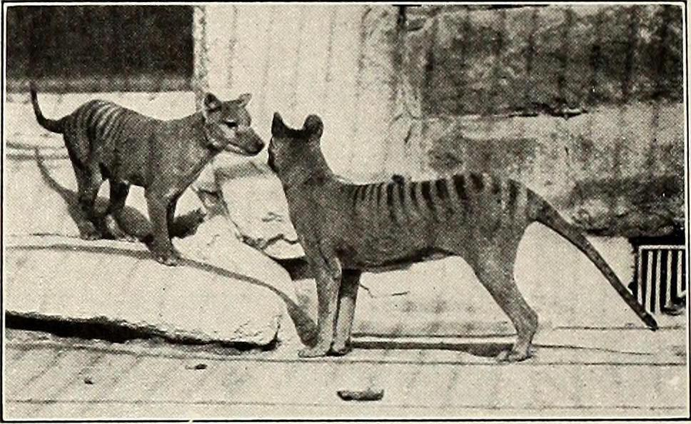 The now-extinct thylacine and the grey wolf are said to have a convergent evolution.