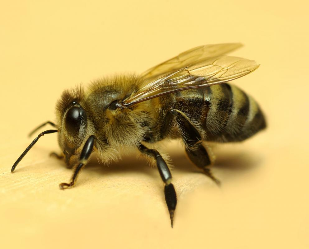 A number of bee products are used in homeopathy.