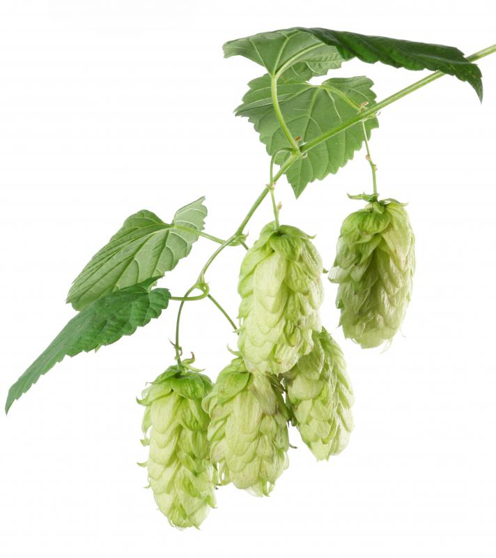 Hops, which are used to make some homeopathic remedies.