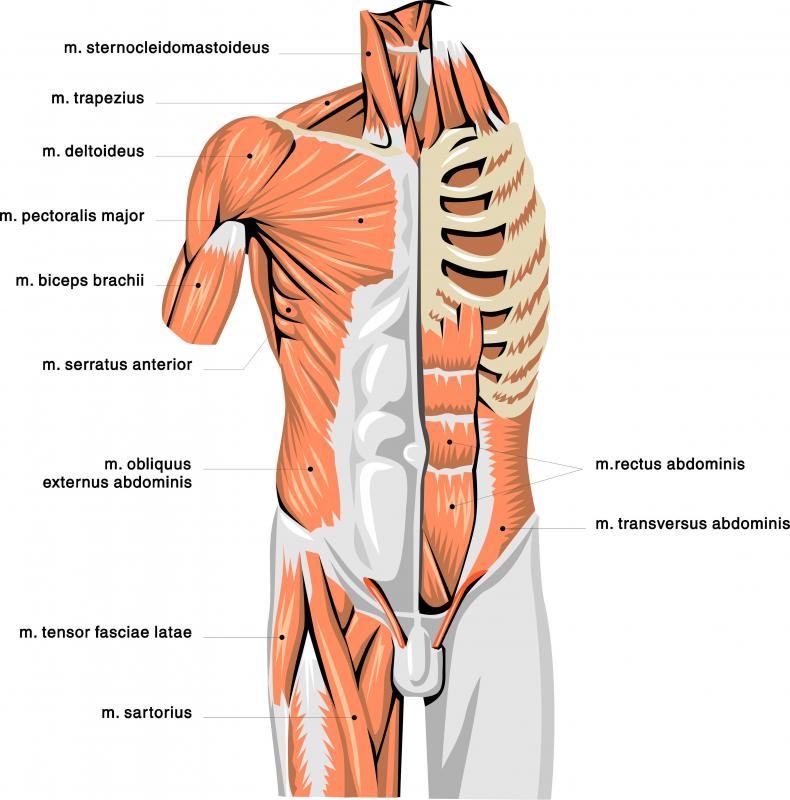 An anatomical illustration showing many muscles in the upper body, including the pectoralis major.