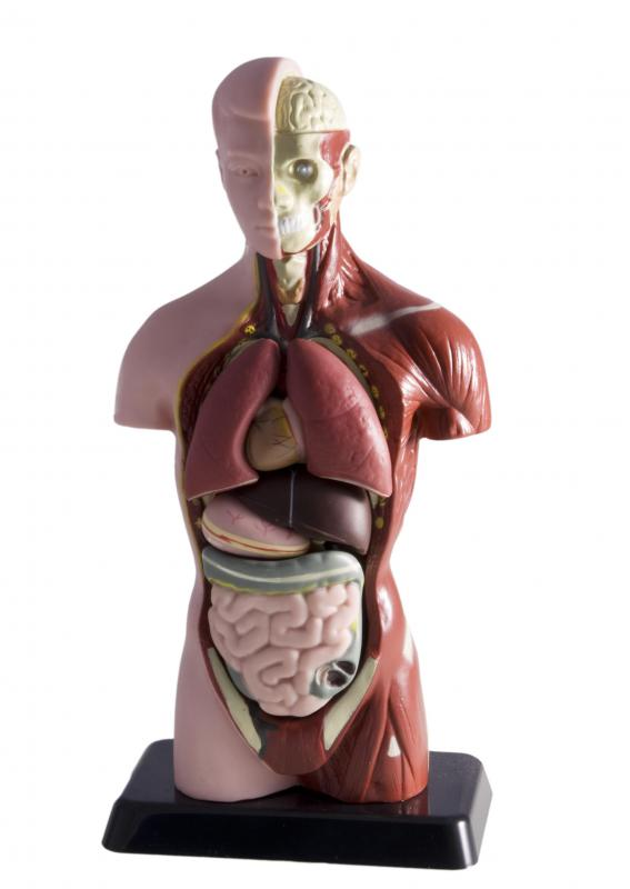 The torso houses many of the human body's organ systems.