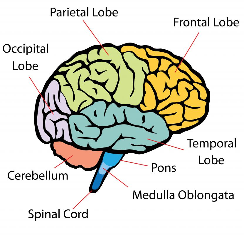 Much of the cerebellum's electrochemical signaling is done by purkinje cells.