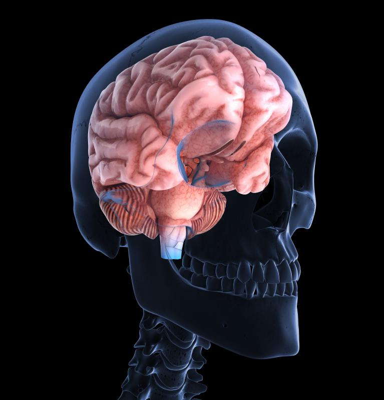 The cerebrum, in the forebrain, consists of two hemispheres connected by bundles of nerves.