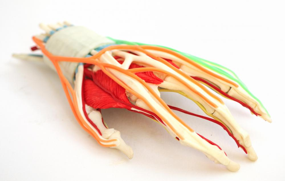 A model of a human hand with the tendons shown in red.