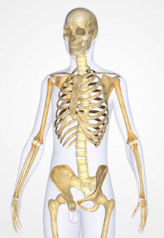 The muscular system connects the skeletal system and allows the body to stand up.