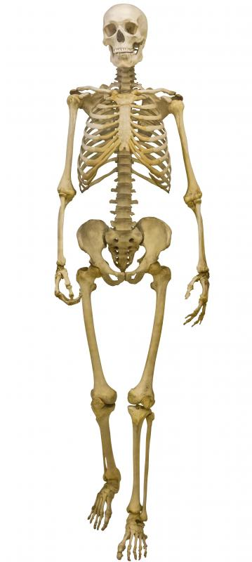 The human skeleton consists of two different sections, the axial and the appendicular.