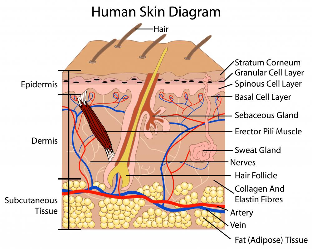 A diagram of the human skin.