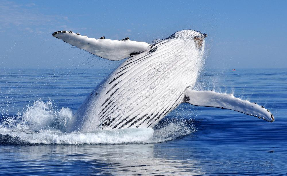 The humpback whale is the state marine mammal of Hawaii.
