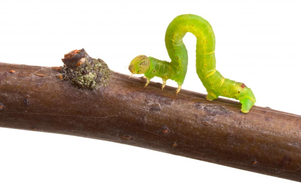 Inchworms are larvae that metamorphosize into the geometer moth.