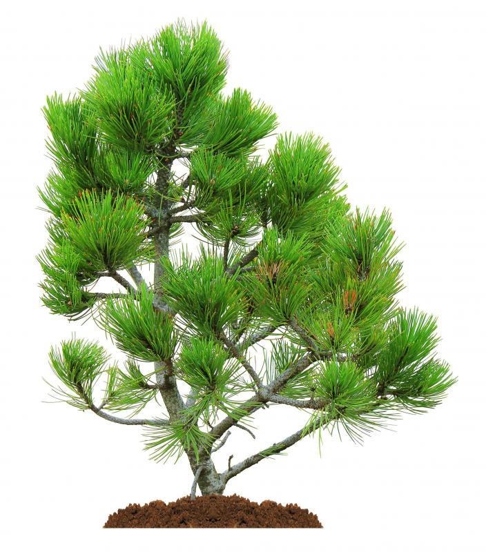 Pine trees are one plant that has developed a defense against parasitic fungi using Mycorrhizal fungi.