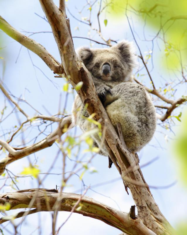 Australia's ecosystem is home to several marsupial species, such as the arboreal koala.