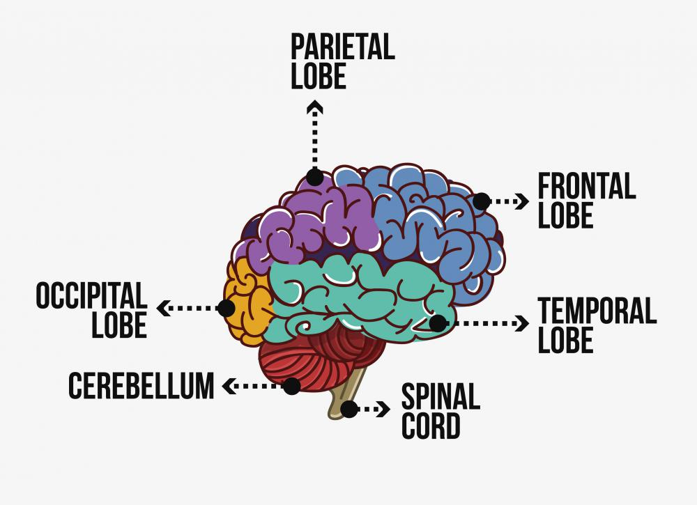 The functions of the temporal lobe include processing what is heard and speech.