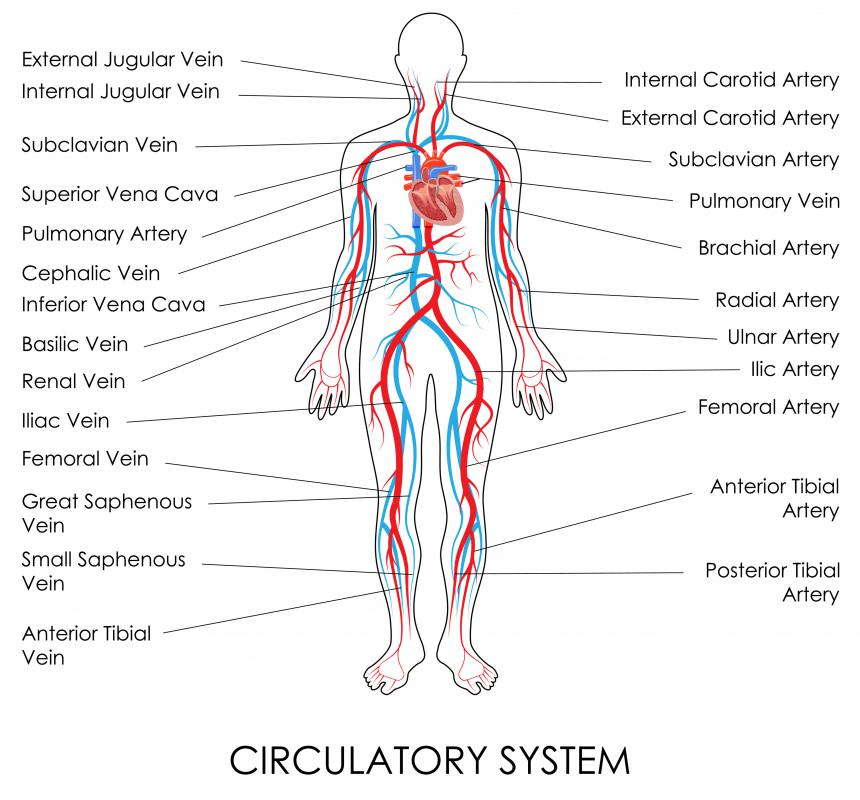 The circulatory system efficiently supplies nutrients throughout the body and carries away wastes.