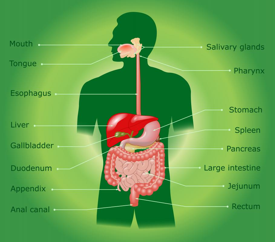 The salivary glands lie in and around the throat and mouth.