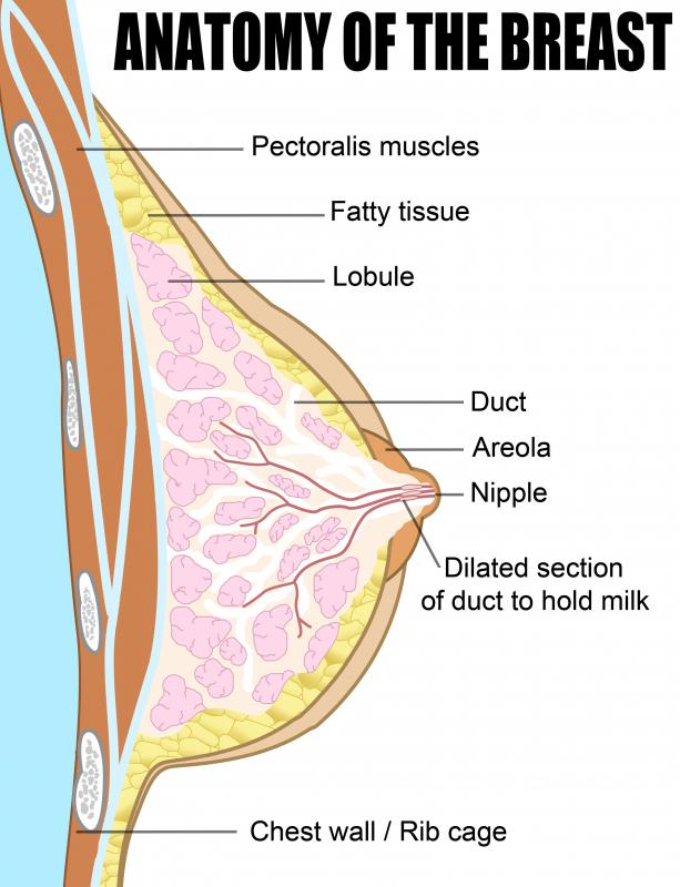 Girls with virginal hypertrophy may have underdeveloped or absent lobules, the milk-producing glands in the breasts.