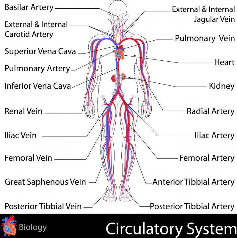The respiratory system provides nutrient-rich oxygen for the circulatory system to transport to the rest of the body.