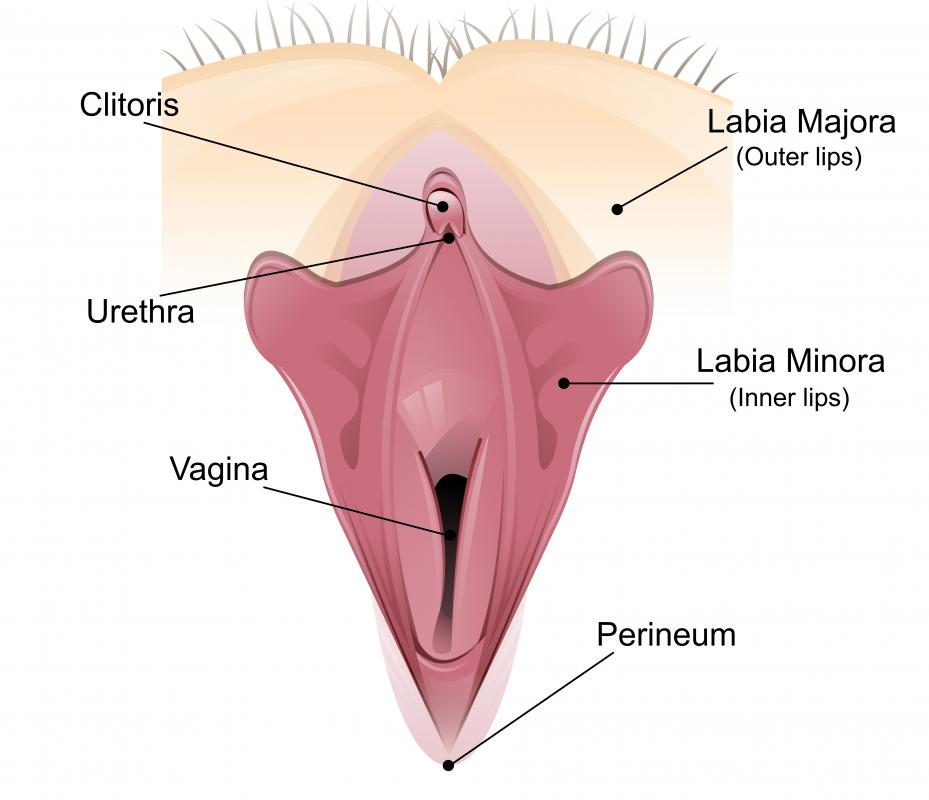 In women, the bulbocavernosus helps to achieve clitoral erection.