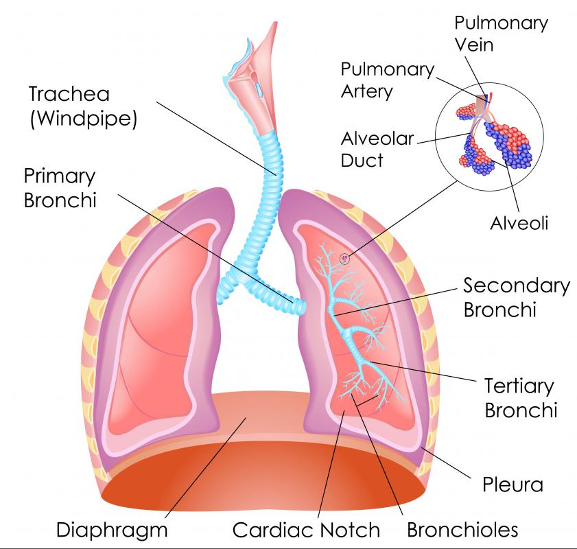 During breathing, the diaphragm muscle contracts and increases lung volume, decreasing pressure at the same time.