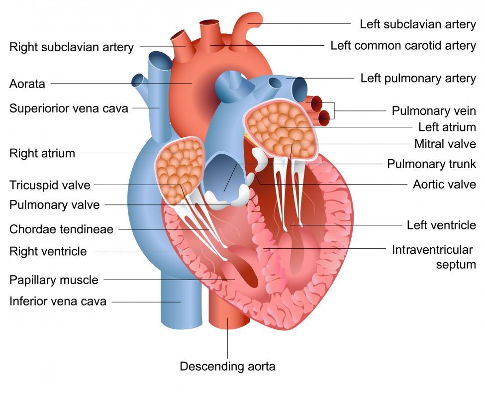 The bundle of His is the part of the heart's electrical system that controls the beating of the cardiac muscle.
