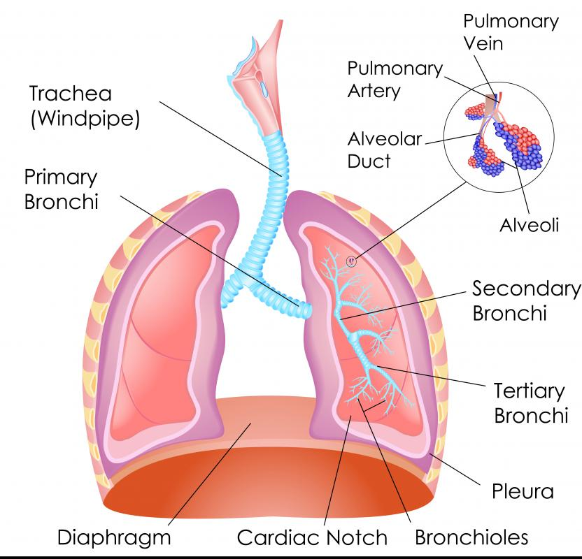 The pleura is the location of the fluid between the chest wall and the lungs.