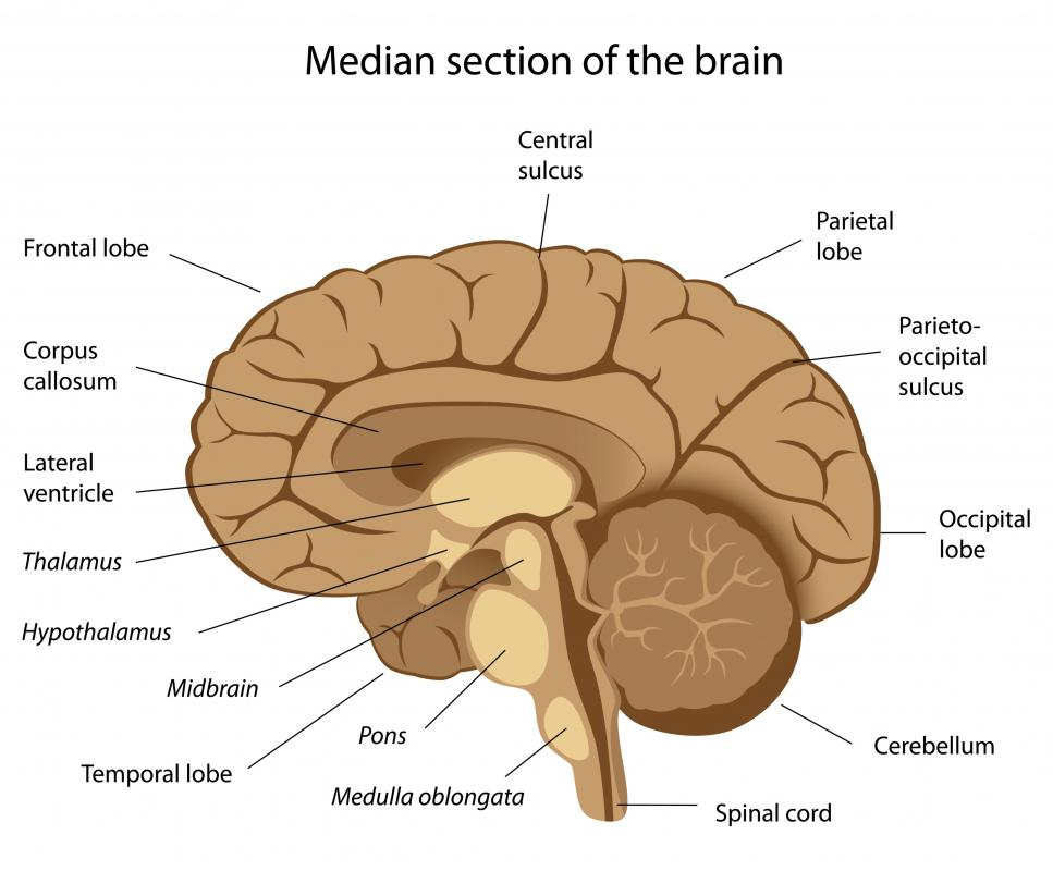 The brain's regions are connected by a neural pathway.