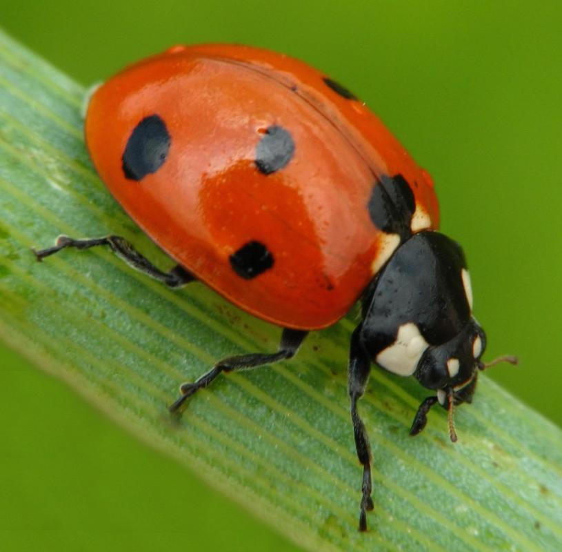 Ladybugs can eat pests infesting potato vines.