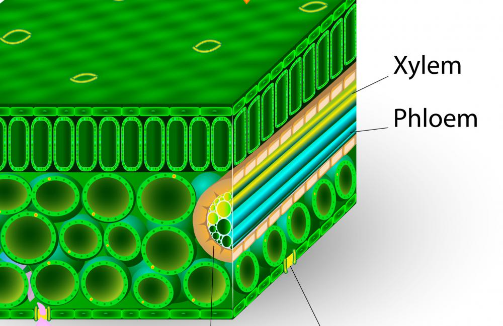Xylem is made up of parenchyma cells and two specialized cells called tracheids and vessel elements.