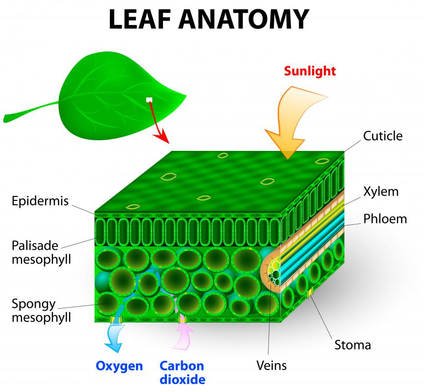 A plant's vascular system allows water and nutrients to flow in plants.
