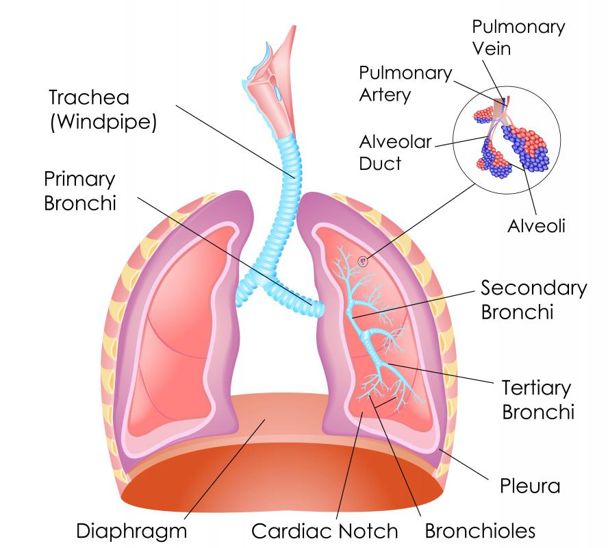 The respiratory system facilitates breathing and is necessary to maintain life.