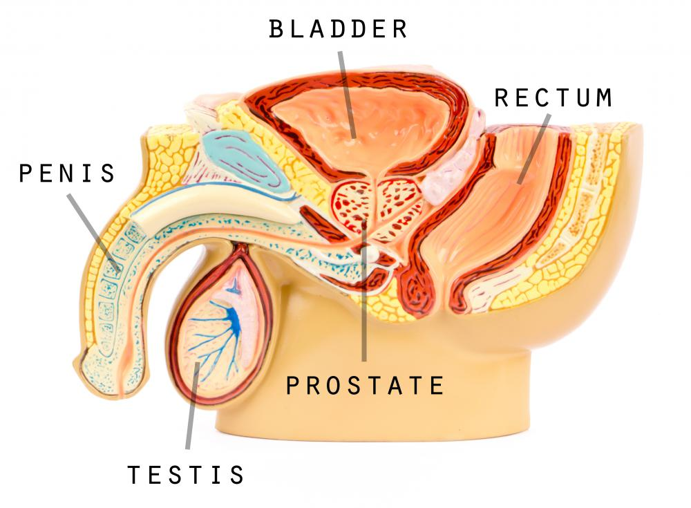The prostate gland is located near the bladder in males.