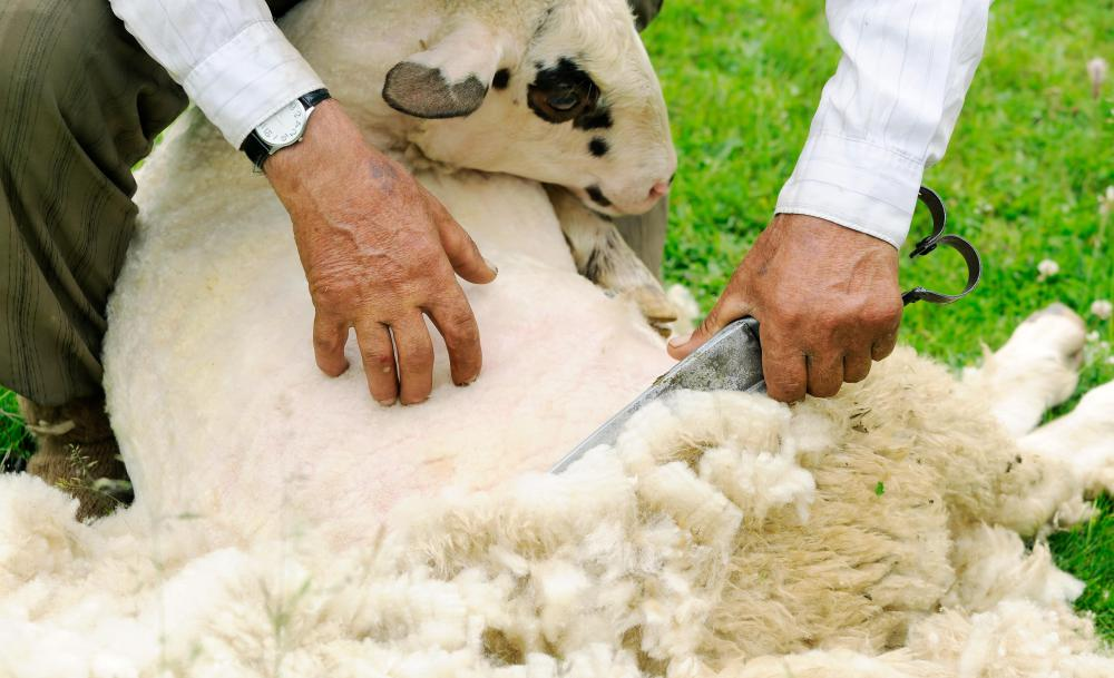 Wool is shorn from sheep.