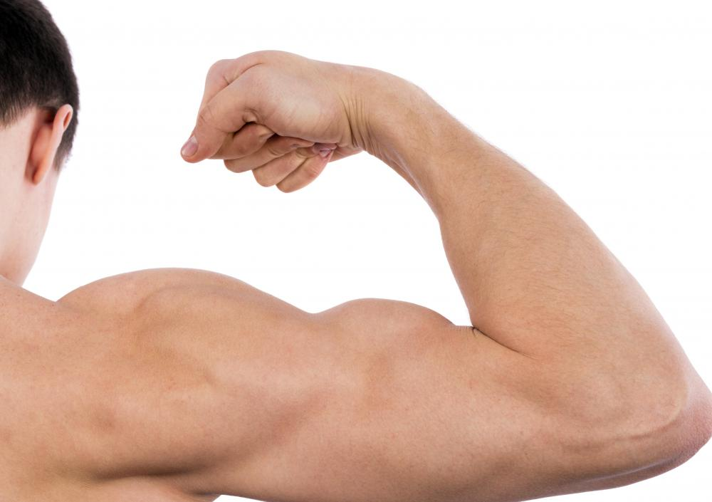 The bicep has two shoulder tendons: the long head and the short head.