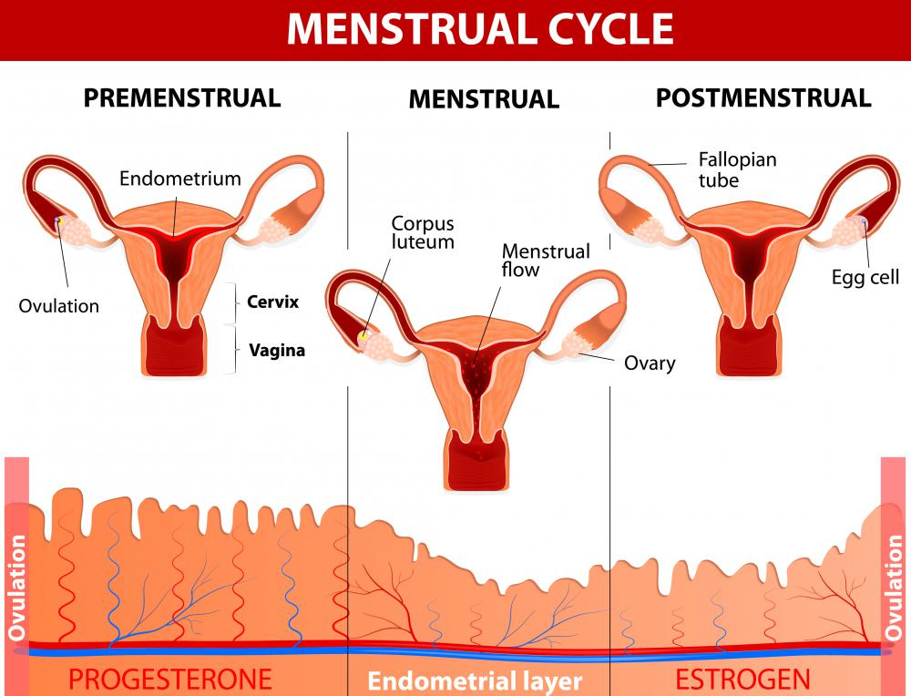 Sex hormones play a major role in the menstrual cycle.