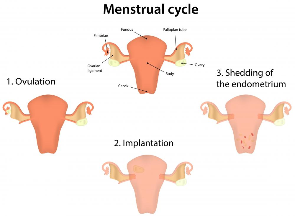 The thickness of the endometrium changes along with the female's menstrual cycle.