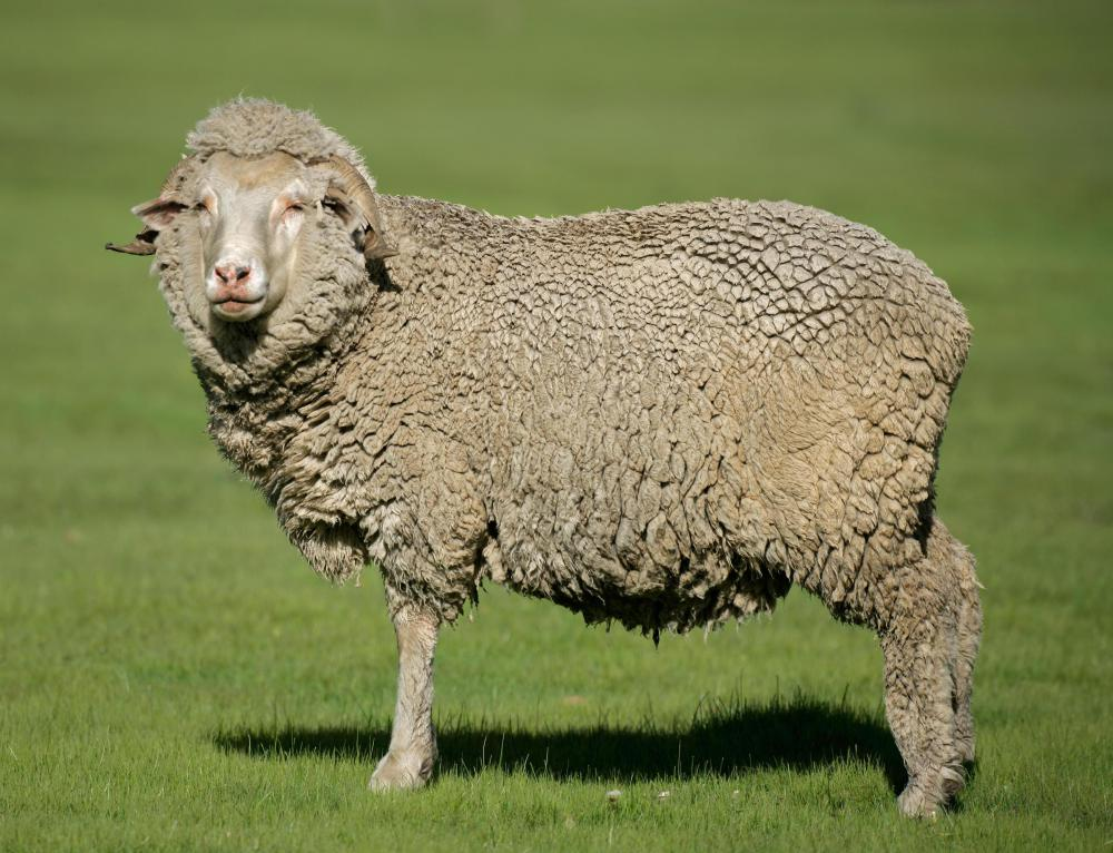 Fleece from Merino sheep is often used in wet felting.
