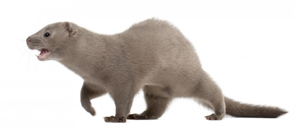 Minks are hunted throughout North American for their prized fur.