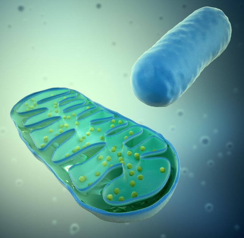 Mitochondria process fatty acids into chemical energy.