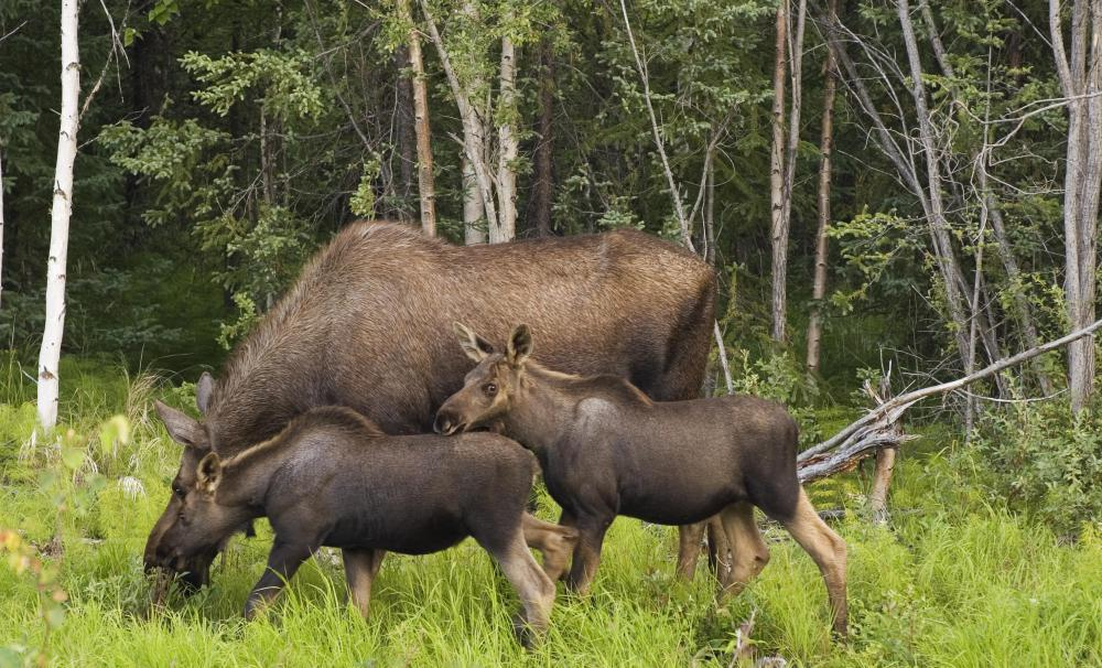 A moose test is typically conducted in areas where there are large populations of moose and elk.