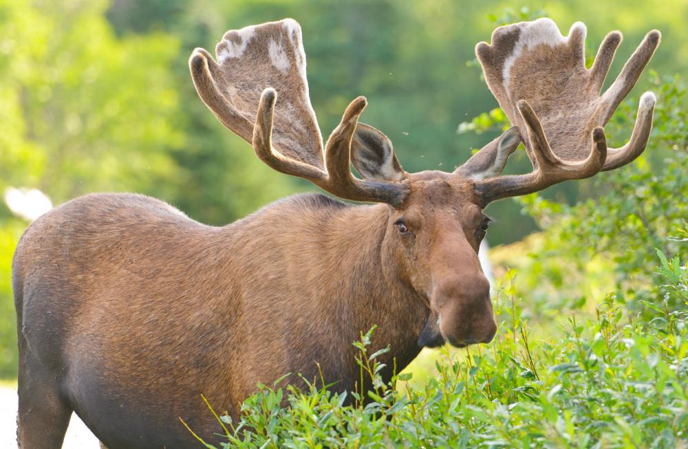 Big game hunting in North America includes moose.