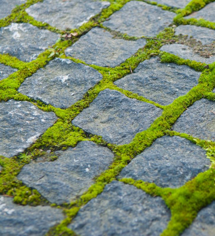 Mosses, like that growing between these cobblestones, don't have a vascular system, so they cannot grow very tall.