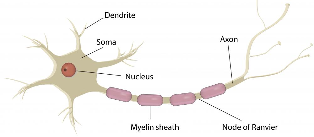 The myelin sheath is a layer of fatty tissue that protects the nerves and makes impulses travel efficiently.