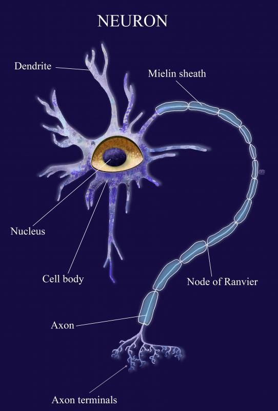 Nerve cells also known as neurons, send electrical signals through the nervous system.