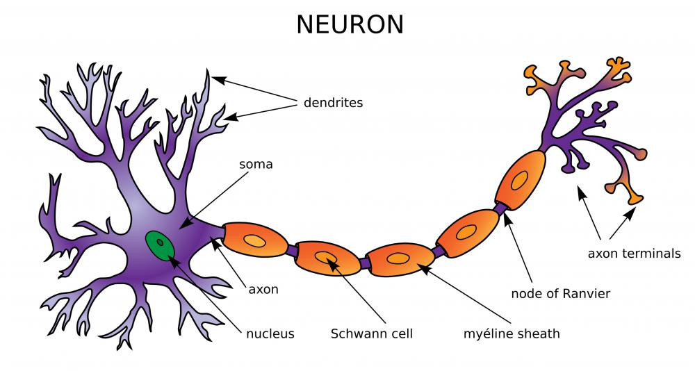 Neurons send and receive chemical signals between various part of the body.