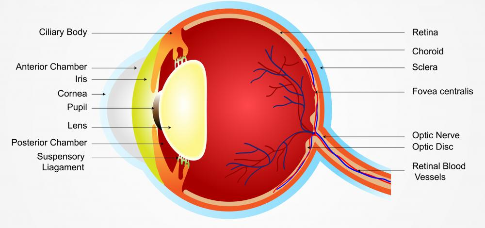 The retina is the light sensitive portion of the eye that responds to light that has been filtered through the pupil.