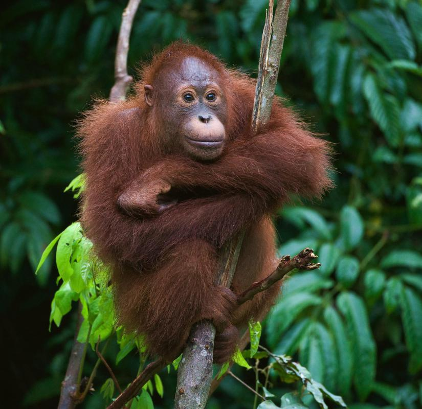 The definition of a primate covers between 190-400 species, including the Orangutan.