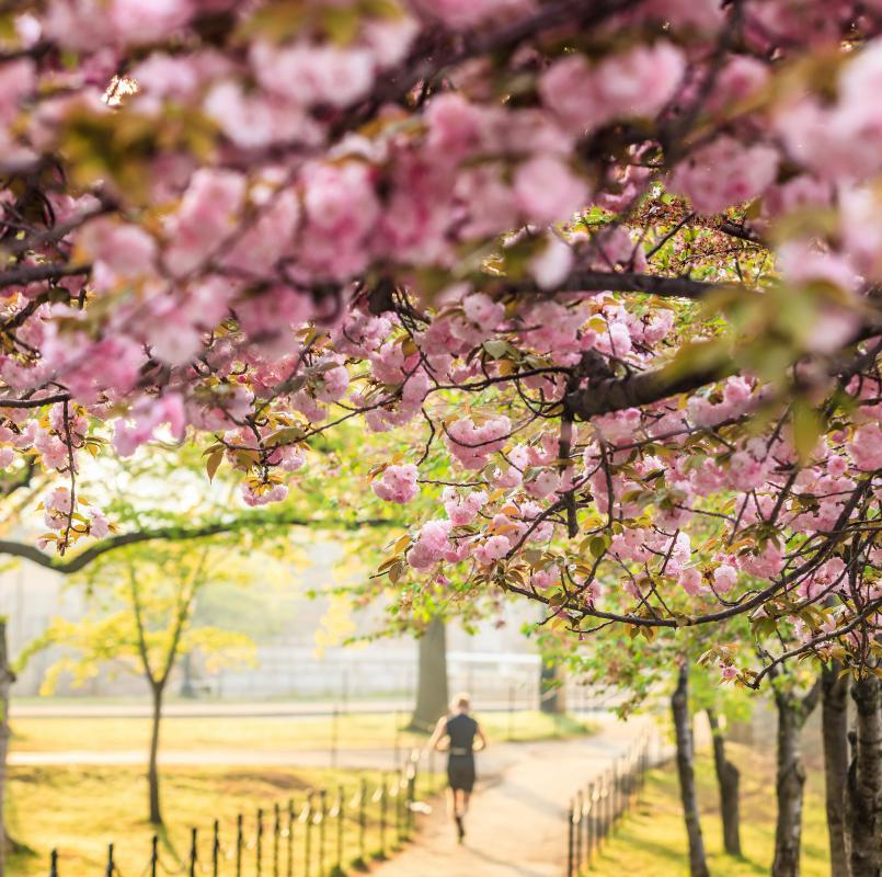 Viewing cherry blossoms -- known as sakura in Japanese -- is a highly popular activity in Japan.
