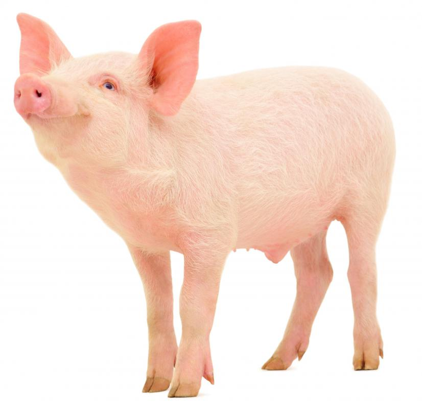 Agricultural science includes the study of common farm animals, such as cows and pigs.
