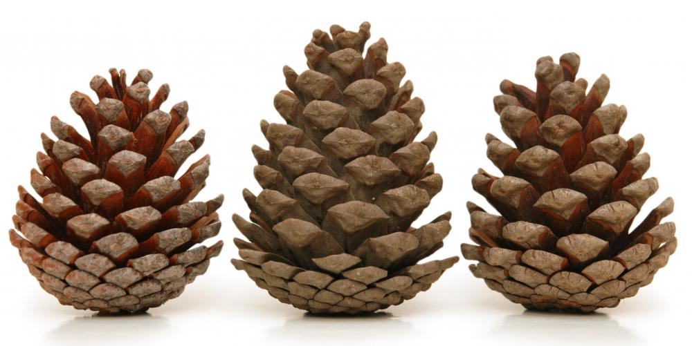 Cats might not enjoy walking in yards that have many pine cones.
